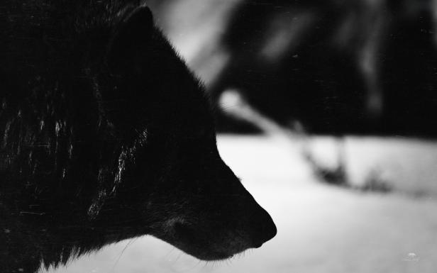 loup_noir